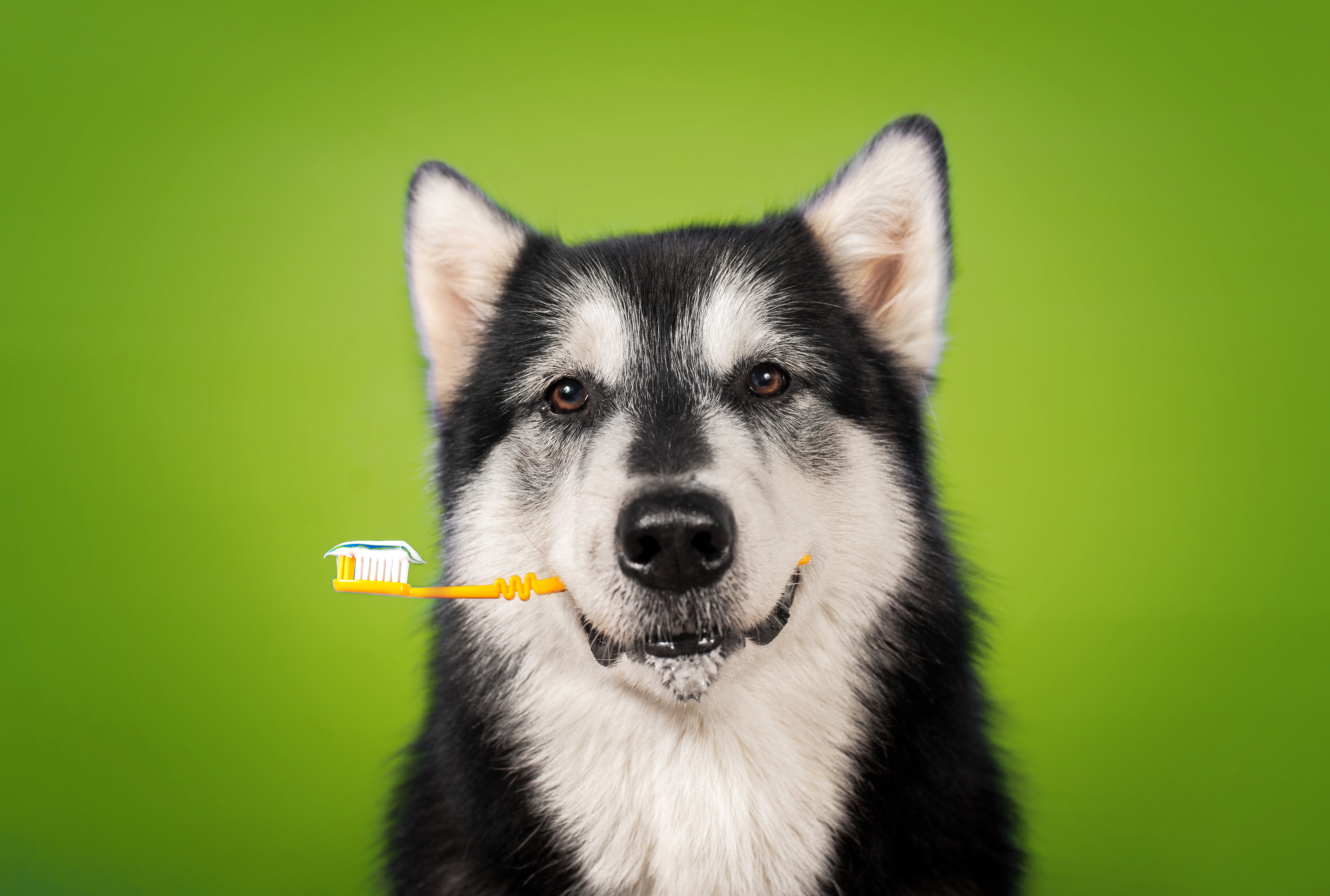 Pet oral care, Keep your dog's teeth strong, pet care,